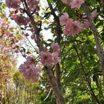 Kwiaty na drzewach alejowych - centrum Ogrody Marka - Białystok