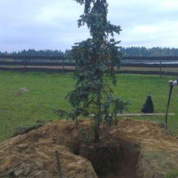 Pielęgnacja roślin - drzewo do przesadzenia - Białystok
